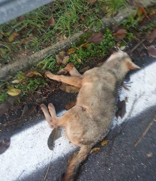 Lupo trovato morto sulla statale 17 non e lo stesso che for Ardeatina arredamenti di lupi gabriella